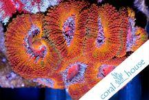 Acanthastrea - CoralHouse