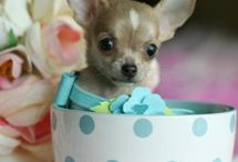 Teacup doggies, miniature love