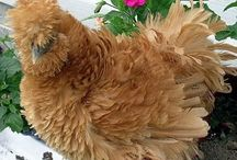 Sizzle Chickens / Sizzles are a cross between Silkies and Frizzle Cochins