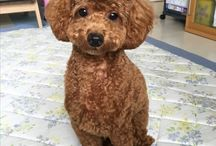 Poodle / かわいいカット