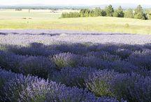 USA Lavender Farms