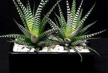 Succulent Plants / Succulent Plants