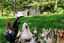 Chick-chicks