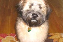 Soft coated Wheaten terriers / by michele burnham