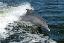 Dolphin's