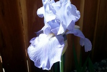 Take time to stop and smell the flowers! / My first love is the Bearded Iris!