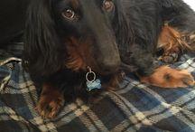 Shadow / Mon chien Shadow (teckel)