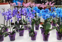 množení orchidei