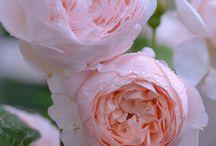 Αγγλικά τριαντάφυλλα