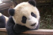 pandas are legit. / by Alex Raines