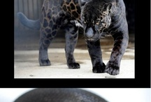 Melanistic and Black Animals/insects
