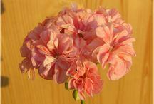 Пеларгонии My art ( Pelargonium)