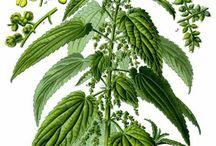 Herbs: Nettle
