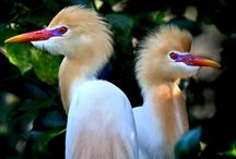 Fauna - птицы - Цапли - Журавли
