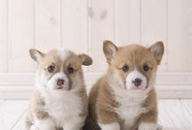 Corgi Puppies / Corgis / by Shirley Tinker