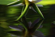 Bloemen Lotus