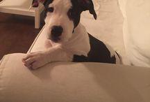 Panda Pitbull / My dog