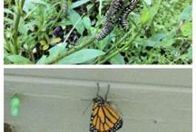 Butterflies, Caterpillars, Spiders, etc / Butterflies, caterpillars, spiders, etc