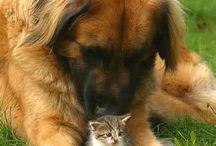 Leonberger / Roztomilí štěnda.