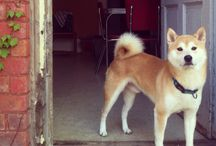 Shiba Inu / Here you can find all the interesting facts about Shiba Inu