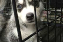 Husky Love / Photos of my Husky Baby, collections of ideas, lessons learnt, training experiences and anything Husky.