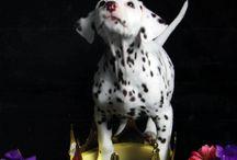 Dalmatian ❤️