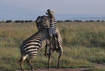 Zebras Safari / Zebras, zebras and more zebras from all across Africa. #safari