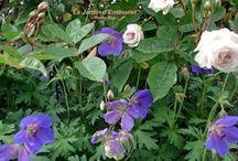 jardin_rosiers