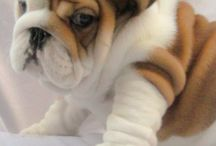Bulldog/pug / by Magic MERLIN