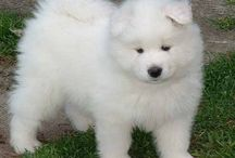 Samoyeds <3  / by Jane Gilmour