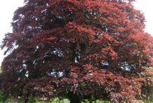 Fagaceae / Oaks