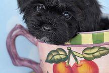 Designer Breed Puppies