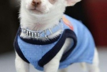 Chihuahua sweeties