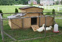 Chas' ducks
