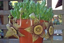 Sukulents-kaktus