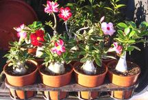 Growing Desert Roses