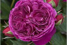Roses WISH List