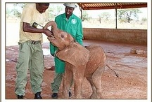 The DSWT // Balguda / Balguda, a male calf, was found making cries of distress and was rescued on the 20th of April 2012. He spent his first night being pampered by the older orphans at Voi, settling down and relaxing immediately amongst his own kind before being transferred to the nursery.  Having taken his milk well, and appearing strong, he was immediately allowed out with the other orphans relishing in their company. Find our more about how to foster him at: http://www.sheldrickwildlifetrust.org/asp/fostering.asp / by David Sheldrick Wildlife Trust