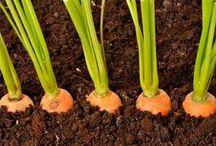 termesztés