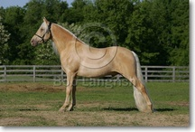 Tennessee Walker / country of origin - USA | average height 150-173 cm | colours - black, bay/brown, chestnut, grey, dilutes (cream, champagne, rarely dun and silver), pinto patterns, roan pattern | uses - show horse, general riding, endurance, trail