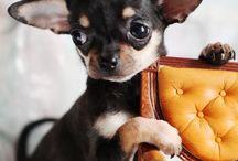 Insol, my shihuahua puppy