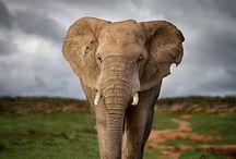 Amazing Elephants