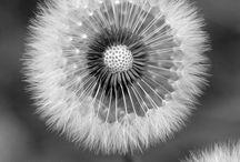 dandelion / by Gratzy