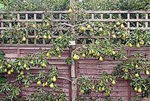 ovocné stěny
