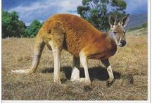 Cangurs / Kangaroo