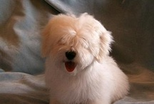 Coton de Tulear & Dog Stuff / Sweet bichon breed from Madagascar - My little doggies, and items that pertain to dogs.