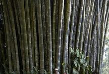 Bamboo/bambu (INA)