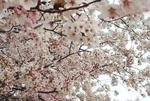 Sakura palacio imperial Japón