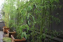 Growing bamboo in containers