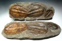 Fossilized/Petrified